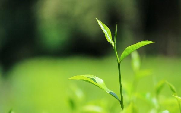 Green tea matcha มัทฉะ อันทรงคุณค่า